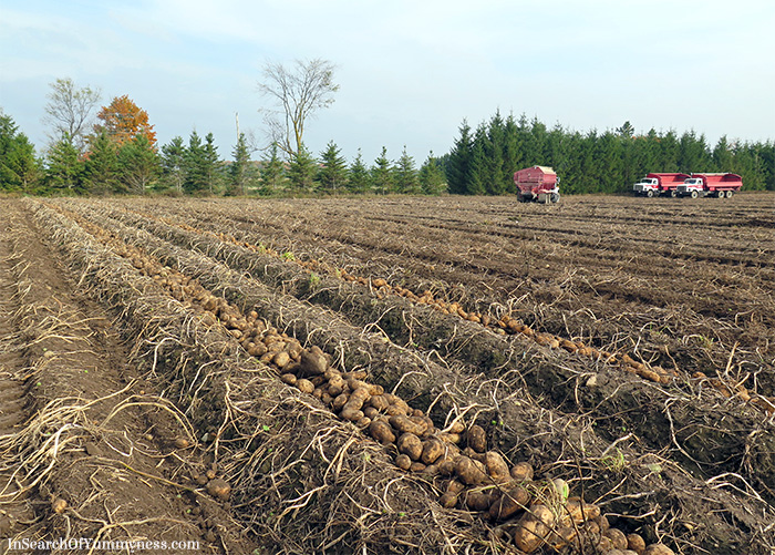 Potato-Farm-shelburne