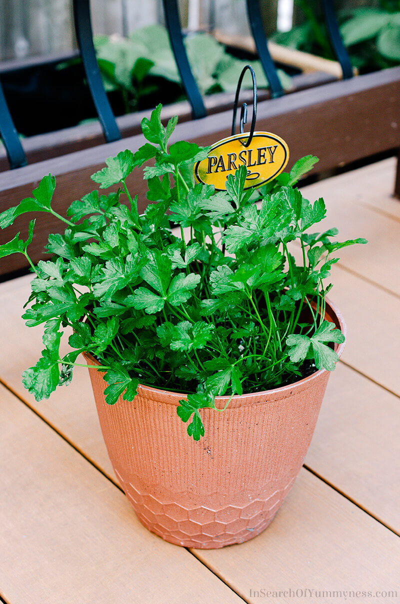 Growing parsley in a container | Growing Edible Plants | InSearchOfYummyness.com